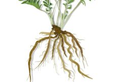Valerian Root For Sleep