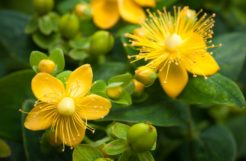 Saint John's Wort for a Better Night Sleep